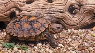 Desert tortoise (Source: Arizona Game and Fish Department)