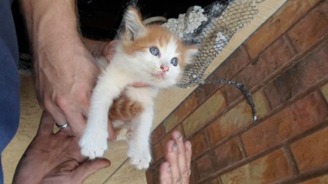 The 5-week-old orange tabby was trapped in the ceiling of the Pyle Adult Recreation Center. (Source: Arizona Humane Society)