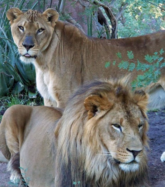 Kitambi & Cookie, the zoo's African lions. (Source: Julie Olmstead & Phoenix Zoo)