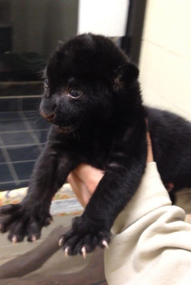 Jaguar cub (Source: Wildlife World Zoo in Litchfield Park, AZ)
