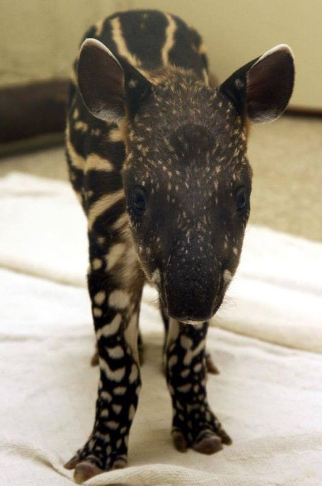 A South American baby tapir. (Source: Wildlife World Zoo in Litchfield Park, AZ)