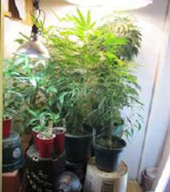 Authorities find 14 marijuana plants at Marana home. (Source: Pinal County Sheriff's Office)