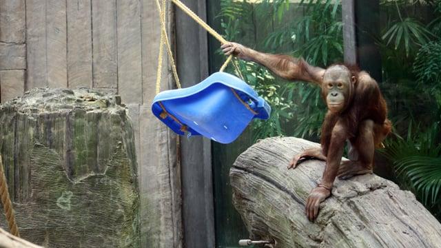 Daniel, a new orangutan at the Phoenix Zoo. (Source: Phoenix Zoo)