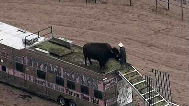 "A buffalo takes refuge from the wet weather on top of a trailer belonging to Collin ""TC"" Thorstenson and his buffalo Harvey Wallbanger Jr. in Cave Creek. (Source: CBS 5 News)"