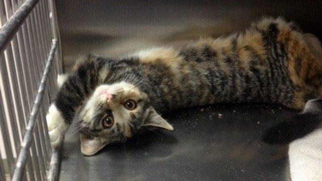 Nitro is a 5-month-old Torbie. The kitten is available for adoption as part of the Valentine's Day special. (Source: Arizona Humane Society)