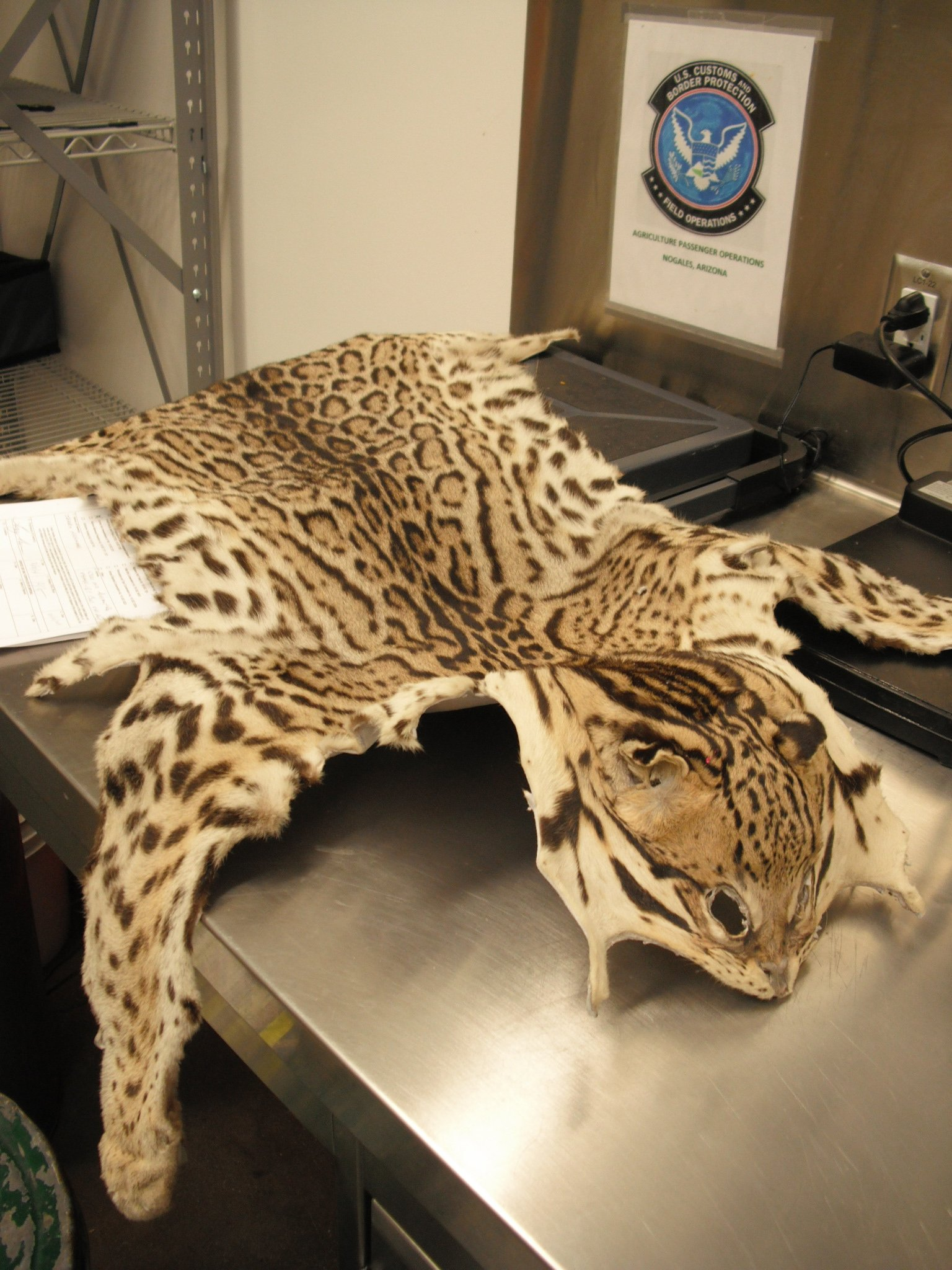 Ocelot pelt seized (Source: U.S. Customs and Border Protection)