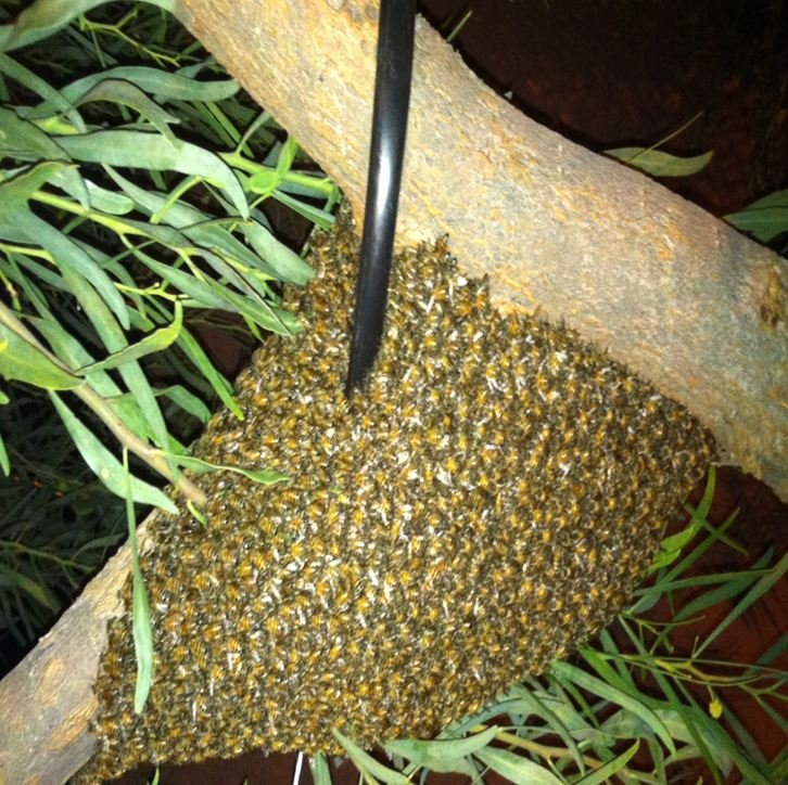 Swarm of bees on a tree limb