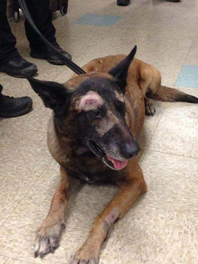 Mesa police sent this photo Sunday of Jake recovering after the attack. (Source: Mesa Police Department)