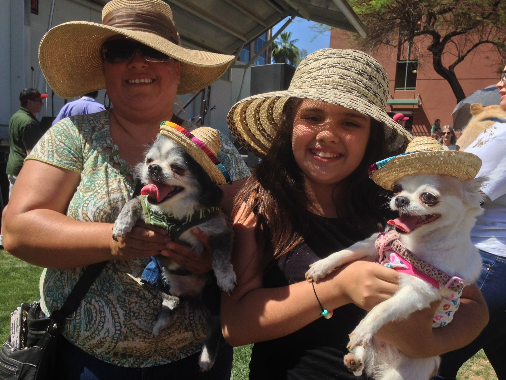 Benito (left) and Rainy join other Chihuahuas at a Chandler Cinco de Mayo celebration Saturday. (Source: Christina Batson, cbs5az.com)