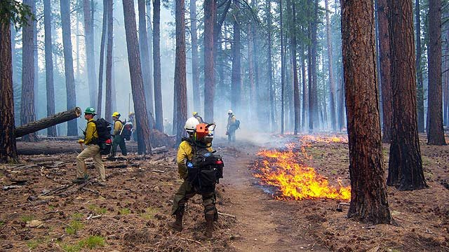 Hotshots work a section of forest in trying to contain the Galahad Fire on the North Rim of the Grand Canyon. (Source: National Park Service)