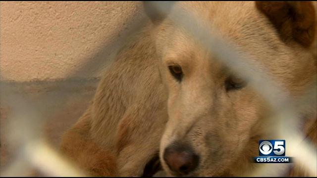 A dog that brought the Metro light rail system to a halt Friday night will be transferred to an animal rescue group for socialization and won't be euthanized. (Source: CBS 5 News)