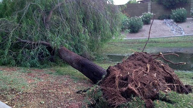 Powerful winds toppled this mature tree in Gilbert. (Source: CBS 5 News)