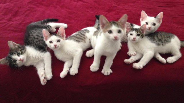 """Four of """"Krimm's Kitties"""" will be available for adoption at the Arizona Humane Society's Sunnyslope Campus. (Source: Phoenix Police Department)"""