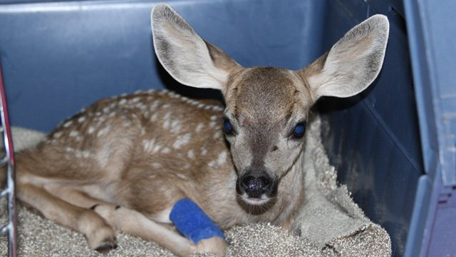This mule deer was rescued during a storm last week. (Source: Southwest Wildlife Conservation Center)