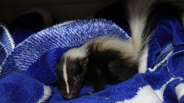 A skunk was rescued from Tuesday's monsoon. (Source: Southwest Wildlife Conservation Center)