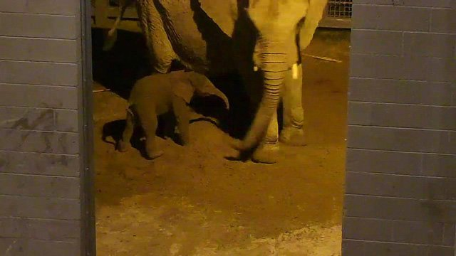 Semba, a 24-year-old African elephant, successfully delivered a female calf Wednesday night at Tucson's Reid Park Zoo. (Source: flickr / Reid Park Zoo)