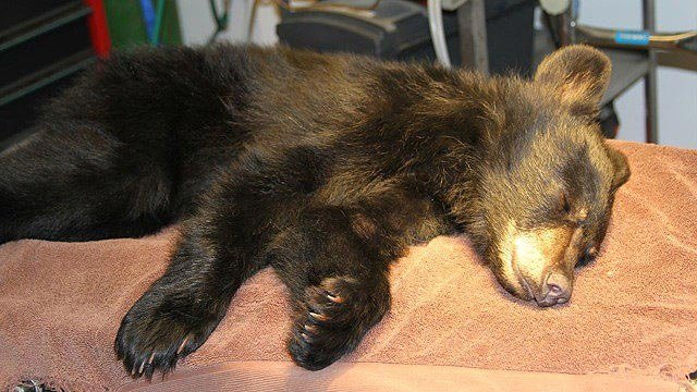 A bear cub found injured on the side of a highway near Payson is recuperating at the Southwest Wildlife Conservation Center in Scottsdale. (Source: Southwest Wildlife Conservation Center)