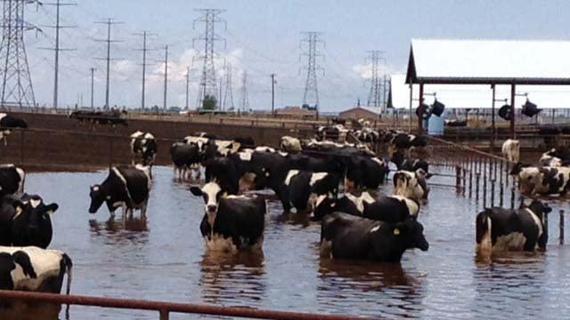 Flood waters affected cattle on this Arizona farm. (Source: Jason Barry, cbs5az.com)