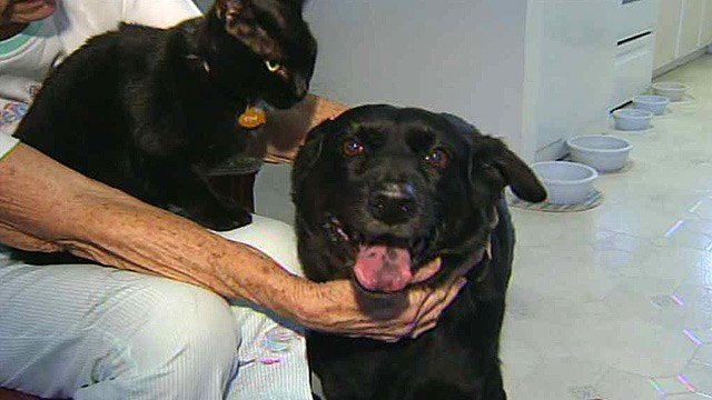 Chips, a dog that had been beaten and left for dead, is hailed as a hero for helping save a man from serious injury or even death at his Sun City home in July. (Source: CBS 5 News)