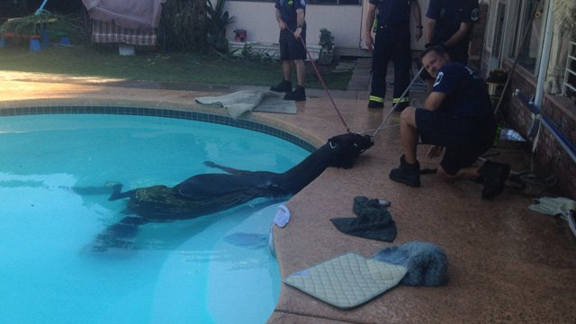 Firefighters work to rescue a horse in a Mesa pool. (Source: Mesa Fire Department)