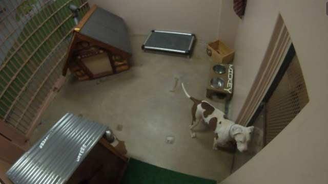 The pit bull soon to be a 24 hour jail webcam star cbs 5 kpho
