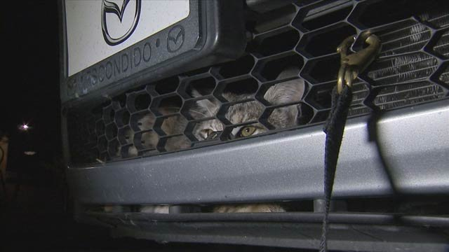 The bobcat was trapped inside the grille after it was hit by a car. (Source: CBS 5 News)