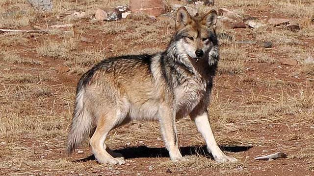 Mexican gray wolf (Source: US Fish and Wildlife Service)
