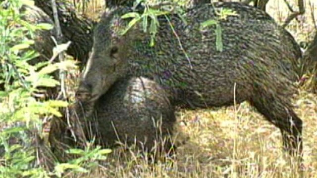 Javelina. (Sourc: CBS 5 News)