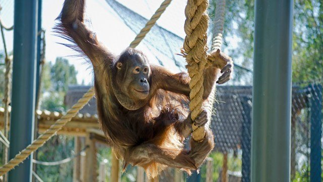 Daniel, a 7-year-old Bornean orangutan, made his outside debut at the Phoenix Zoo on Wednesday. (Source: Phoenix Zoo)