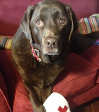 Chip, a 10-year-old Labrador retriever. (Source: American Red Cross)