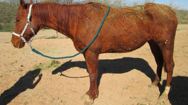 The horses suffered from dental and other medical issues, deputies say. (Source: Maricopa County Sheriff's Office)