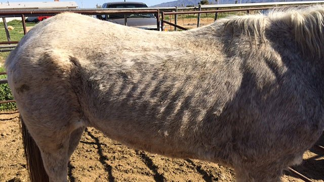 Nine of 11 horses on the Buckeye property were seized. (Source: Maricopa County Sheriff's Office)