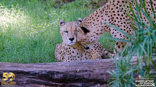 Juma became the second of two cheetah brothers lost to illness at the Phoenix Zoo. (Source: Phoenix Zoo)