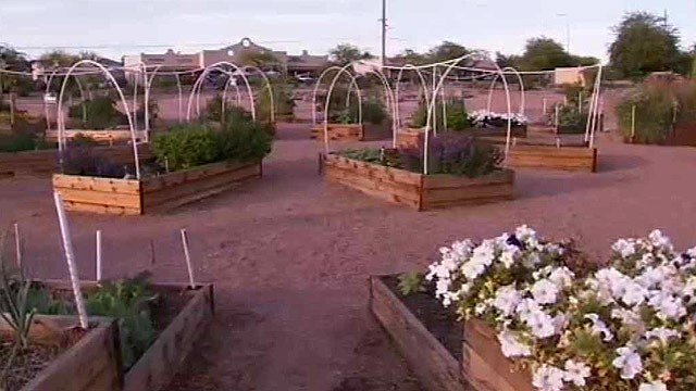Thieves have been sneaking in at night and taking produce and plants from this fruit and vegetable garden in Apache Junction. (Source: CBS 5 News)