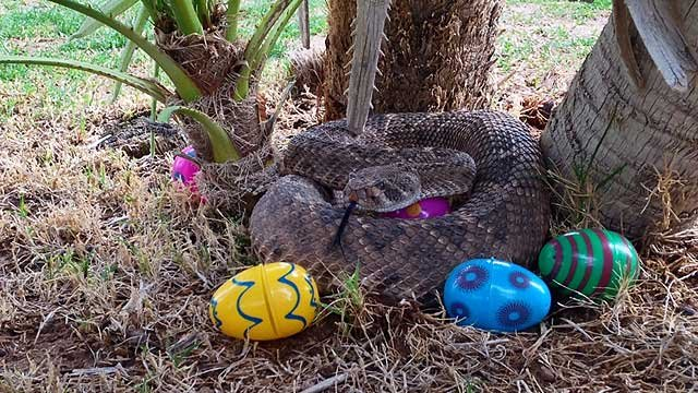 Rattlesnakes like to lie in the same places that make good hiding spots for Easter eggs. (Source: Phoenix Herpetological Society)