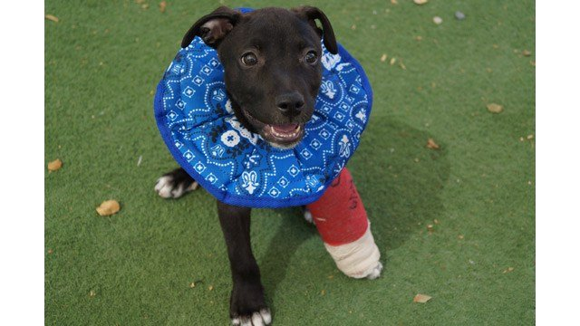 An 8-week-old puppy that was thrown from a car suffered broken toes and is recuperating at the Arizona Animal Welfare League and SPCA in Phoenix. (Source: AAWL & SPCA)