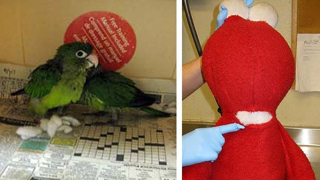 Two small parrots were concealed in this Elmo doll as a California couple tried to bring them into the United States. (Source: Customs and Border Protection)