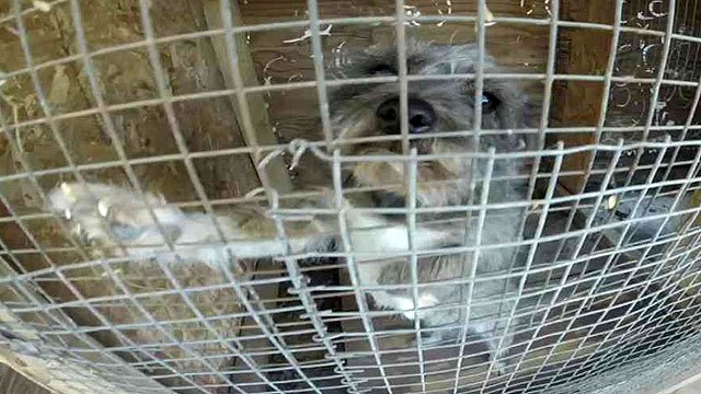 Smaller dogs in cages were believed to be used for bait for the fighting dogs. (Source: CBS 5 News)
