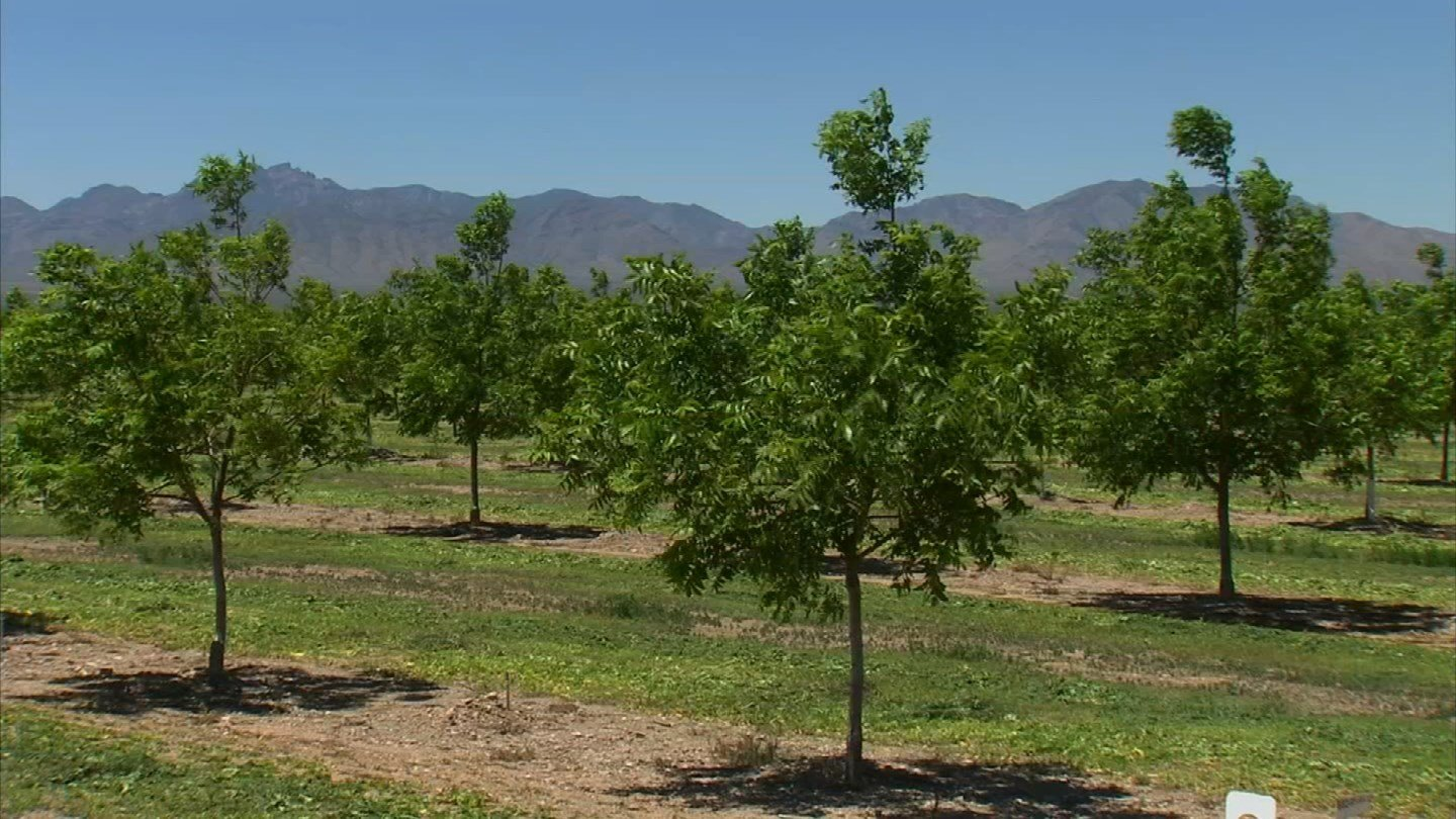 A pecan orchard in San SImon is using high-tech and low-tech ways to reduce blowing dust. (Source: KPHO/KTVK)